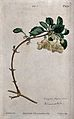 A clematis plant (Clematis cirrhosa); flowering stem. Colour Wellcome V0044387.jpg