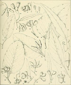 Eucalyptus occidentalis - Eucalyptus occidentalis Endl. Crit. Rev. Eucalyptus. Pl. 148. 1930-1933
