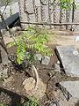 A curry leaf in Kitchen garden.JPG