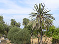 A date palm tree in Israel (5767852688).jpg