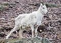 A female Dall sheep (bfb43cc5-1ee2-4eab-9a8d-27b1c3276a16).jpg