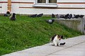 A feral cat in Peter & Paul Fortress.jpg