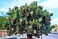 A few hours ashore at Puerto Baquerizo Moreno on Isla San Cristobal - flowering cactus (tree) (16503266248).jpg
