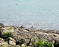 A heron fishing on the shores of the Menai Strait- Creyr-glas ar fin y Fenai - geograph.org.uk - 380691.jpg