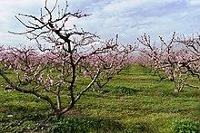 A peach orchard in spring.jpg