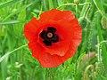 A poppy flower in June, near Savernake - geograph.org.uk - 638667.jpg
