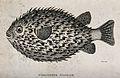 A porcupine diodon. Engraving by Heath. Wellcome V0022044.jpg