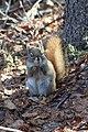 A red squirrel (1c333dbc-1a62-42eb-b791-be4647e14ac4).jpg