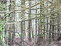 A section of Hafod Fawr forest - geograph.org.uk - 443724.jpg