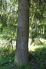 Abies grandis trunk.JPG
