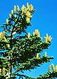 Abies nebrodensis foliage cones.jpg