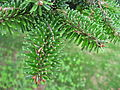 Abies numidica needles 02 by Line1.jpg