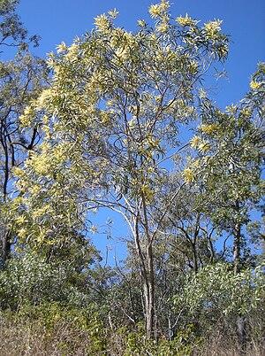 Black wattle - An Acacia aulacocarpa tree.
