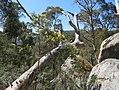 Acacia dealbata (37128586083).jpg