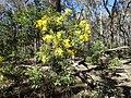 Acacia filicifolia (habit).jpg