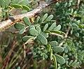Acacia mellifera, Phalandingwe, b.jpg