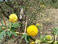 Acacia nilotica ssp. indica (517652060).jpg