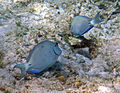 Acanthurus bahianus (ocean surgeonfish) (San Salvador Island, Bahamas) 2 (16150208412).jpg
