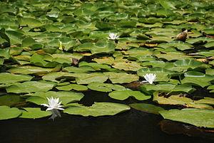 Acarlar Floodplain Forest - Water violet (Hottonia palustris) on the lagoon.