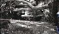 Accident at Zion Lodge; 50 foot long, 12 inch diameter tree limb fell onto Chevrolet sedan. ; ZION Museum and Archives Image 107 (01f75e47621a4a73b43b727759659d2f).jpg