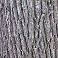 Acer platanoides bark Bgd.jpg
