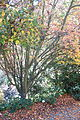 Acer rufinerve - Quarryhill Botanical Garden - DSC03615.JPG