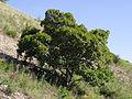 Acer tataricum habitus.jpg
