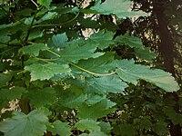 Acer velutinum