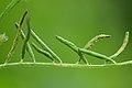 Aceria trifolii on Vicia hirsuta (31546953890).jpg