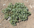 Acleisanthes nevadensis 1.jpg