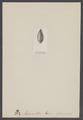 Actaeonella - Print - Iconographia Zoologica - Special Collections University of Amsterdam - UBAINV0274 005 11 0031.tif