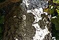Adina cordifolia 3zz.jpg