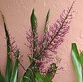 Aechmea spectabilis 20091017.jpg