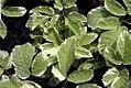 Aegopodium podagraria Variegatum 1zz.jpg
