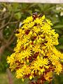 Aeonium flowers.jpg