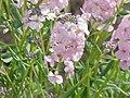 Aethionema grandiflora0.jpg