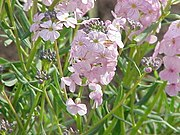 Aethionema grandiflora0