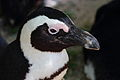 African Penguin - Adventure world, Shirahama.jpg