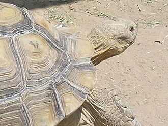 African spurred tortoise - African spurred tortoise at the Las Vegas Zoo