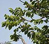 African Tulip Tree (Spathodea campanulata) at Secunderabad W IMG 6625.jpg