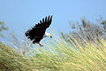 African fish-eagle haliaeetus vocifer.jpg