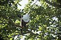 African fish eagle (Haliaeetus vocifer) 01.jpg