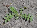 Agrimonia eupatoria 2016-04-22 8708.jpg
