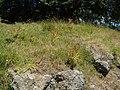 Ailanthus altissima (Mill.) Swingle (AM AK301469-1).jpg