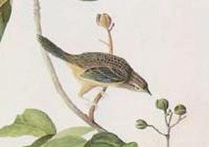 Bachman's sparrow - Image: Aimophila aestivalis Audubon