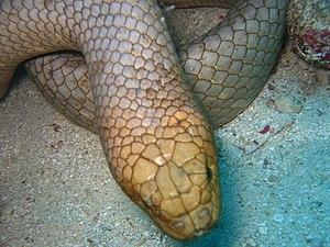 Hydrophiinae - Olive sea snake, Aipysurus laevis