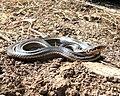 Alameda whipsnake.jpg