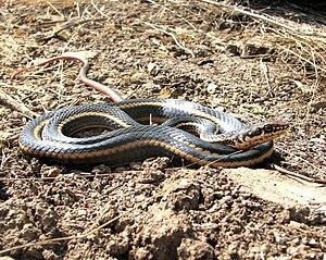 California whipsnake - Alameda whipsnake subspecies