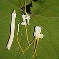 Alangium platanifolium var. trilobatum (flower s5).jpg
