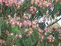 AlbizziaJulibrissinFlower2.jpg